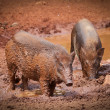 Wild boars - Stock Photo
