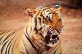Tiger closeup — Stock Photo