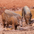 Wild boars — Stock Photo