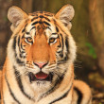 Bengal tiger — Stock Photo #17693455