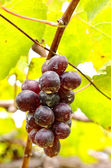 Bunches of red grapes hanging from a vine — Stock Photo