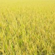 Rice field. - Stock Photo
