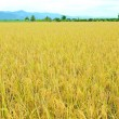 Rice field - Stock Photo