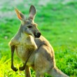 Kangaroo — Stock Photo #19911375