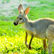 Kangaroo — Stock Photo #19911483
