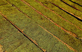 Tobacco lines dried — Stock Photo