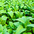 Stock Photo: Tobacco plant.
