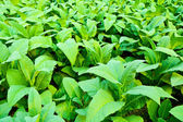 Tobacco plant. — Stock Photo
