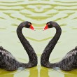 Stock Photo: Black swans