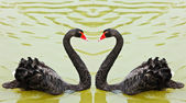 Black swans — Stockfoto