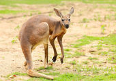Kangaroo. — Stock Photo