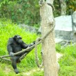 Stock Photo: Chimpanzee.