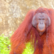Orangutan. — Stock Photo #25720713