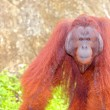 Orangutan. — Stock Photo