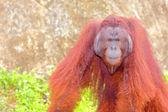 Orangutan. — Stock Photo