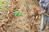 Cassava — Stock Photo