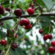 Cherries hanging on a cherry tree branch — Stock Photo #28753063