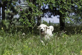 Golden Retriever runs through the grass — Stock Photo