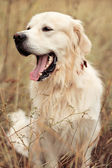 Golden Retriever sitting in the grass — Stock Photo
