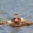 Nesting Red-necked Grebe (Podiceps grisegena). — Stock Photo