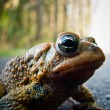 Toad Close-up — Stock Photo
