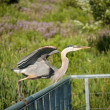 Great Blue Heron Taking Off From a Metal Handrail - Stock Photo