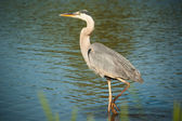 Wading Great Blue Heron — Stock Photo