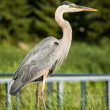 Great Blue Heron Perched on Metal Handrail — Stock Photo #30475057