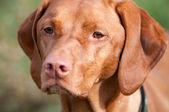 Closeup of a Vizsla Dog — Stock Photo