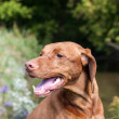 Closeup of a Vizsla Dog Outside in Autumn — Stock Photo