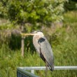 Great Blue Heron Perched on Metal Handrail — Stok fotoğraf