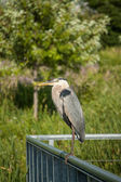 Great Blue Heron Perched on Metal Handrail — Stock Photo