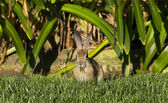 Wild Rabit Eating Grass — Stock Photo
