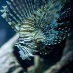 Common lionfish — Stock Photo #34259057