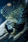 Common lionfish — Stock Photo
