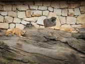 Firavun faresi — Stok fotoğraf