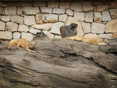 猫鼬 — 图库照片