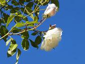 Weiße rose — Stockfoto