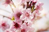 Tree Spring Blossom — Stock Photo