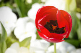 Red Tulip — Stock fotografie