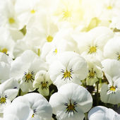 White Pansy Flowers — Stock Photo