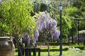 紫藤 — 图库照片