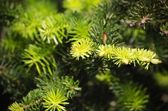 Pine Tree Background — Стоковое фото