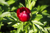 Flor de peônia — Fotografia Stock