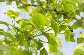 Ginkgo Biloba Tree  — Stock Photo