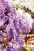 Wistaria Flower — Stock fotografie