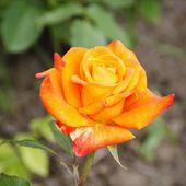 Rose Flower — Stockfoto