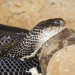 Ringhals (South African Spitting Cobra) — Stock Photo #48739363