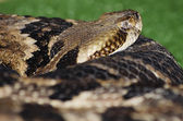 Banded Rattlesnake — Stock Photo