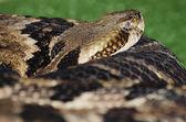 Serpente a sonagli fasciato — Foto Stock